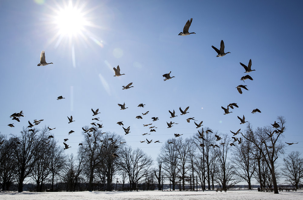 Canada geese take flight from an open field in Center Park Tuesday, Jan. 2, 2018, where they had been feeding on grass that wasn't covered by snow. [Rich Saal/The State Journal-Register]