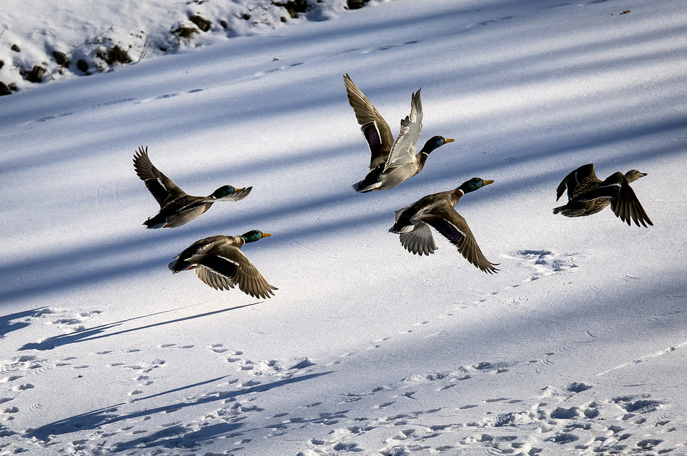 Mallard ducks take flight from the lagoon in Washington Park Wednesday, Jan. 17, 2018 in Springfield, Ill. [Rich Saal/The State Journal-Register]