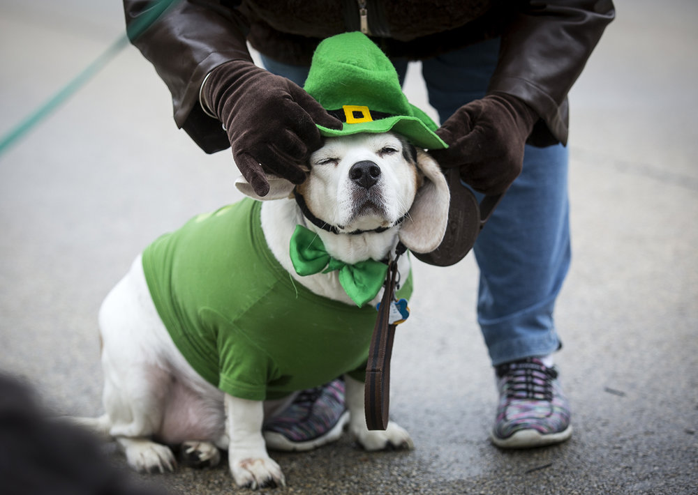 Nancy Easum pushes a hat onto her beagle, Baxter, who seemed resigned to the whole affair in order to walk with volunteers and other dogs from Springfield'd Animal Protective League in the St. Patrick's Day Parade Saturday, March 17, 2018  in Springfield, Ill. [Rich Saal/The State Journal-Register]