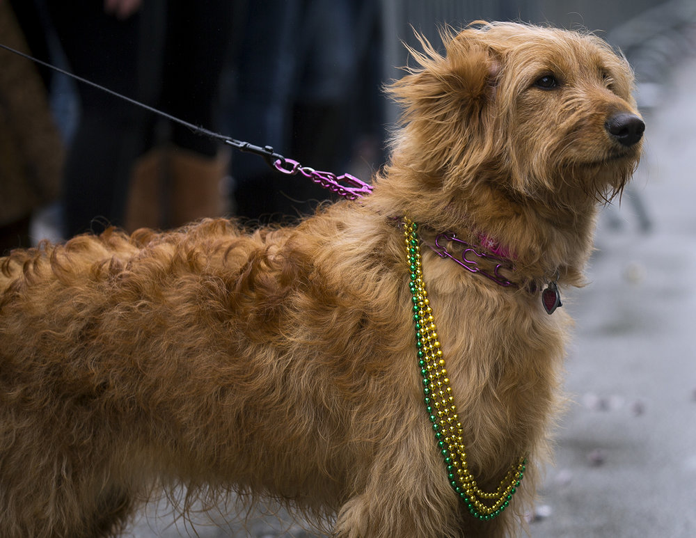 Roxanne, a Golden Doodle that belongs to John Colgan, watches the St. Patrick's Day Parade Saturday, March 17, 2018  in Springfield, Ill. [Rich Saal/The State Journal-Register]