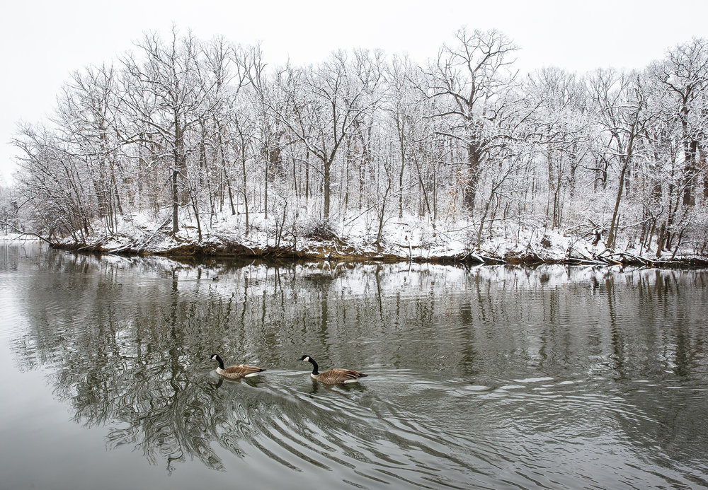"Geese move through the lower lagoon as the trees and grounds after covered after a spring snowfall of around 2.5"" overnight in Washington Park, Monday, April 9, 2018, in Springfield, Ill. [Justin L. Fowler/The State Journal-Register]"