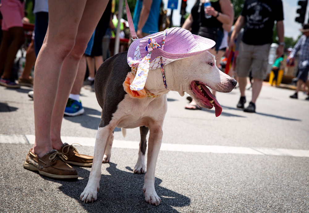 Peaches, a pit bull mix, attended the Springfield's PrideFest parade and street party with her human, Whitney Devine, Saturday, May 19, 2018 at Fourth Street and Capitol Avenue in Springfield, Ill. [Rich Saal/The State Journal-Register]