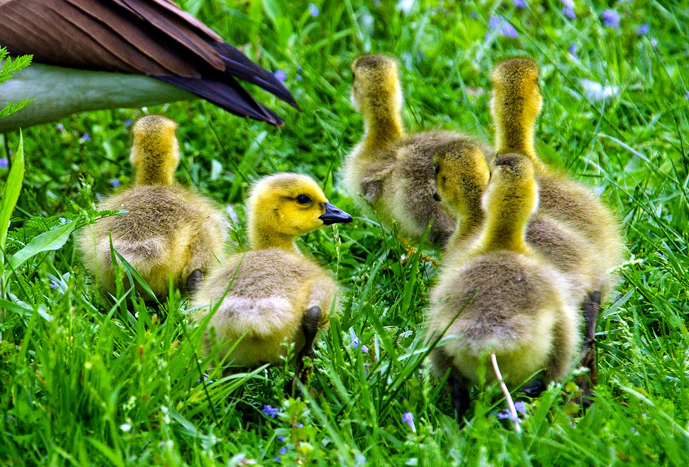 A gaggle of goslings follow an adult goose into the lagoon at Washington Park Monday, May 14, 2018. The youngsters keep their fluffy hair until their feathers begin to come in, bewteen two and four weeks of age. [Ted Schurter/The State Journal-Register]