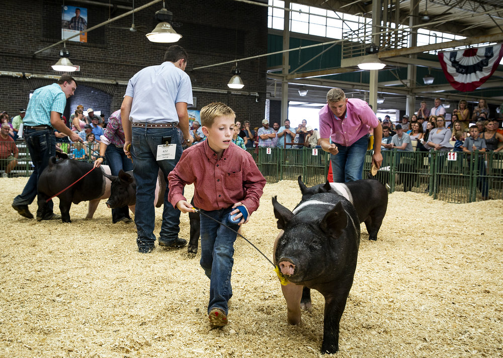 Nathan Swenson of Newark, Ill. shows a Hampshire barrow in the Land of Lincoln Junior Barrow Show breed championship judging at the Illinois State Fair Saturday, Aug. 11, 2018 on the fairgrounds in Springfield, Ill. [Rich Saal/The State Journal-Register]