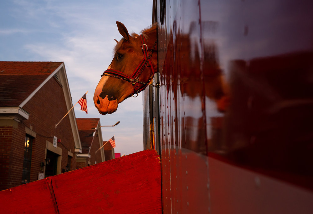 One of the eight belgian draft horses from Rees Family Belgians peeks his head out the door off the truck as he waits to be unloaded after a three day trip from Elk, Washington, to make it to the Illinois State Fair on the Illinois State Fairgrounds, Friday, Aug. 10, 2018, in Springfield, Ill. The Rees Family Belgians are run by three generations of the Rees family and they travel to the midwest to show their Belgians as there aren't many opportunities to show them in Washington.  [Justin L. Fowler/The State Journal-Register]