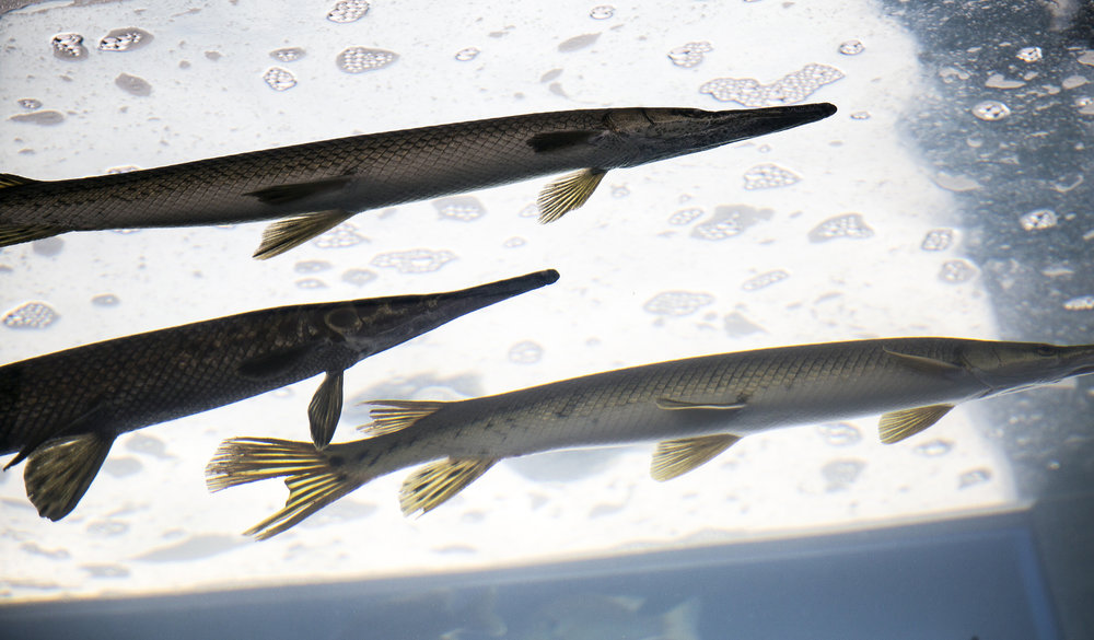 Gar, a freshwater fish recognized by their long, narrow mouth, is one of several species of fish displayed in a tank in Conservation World by the Illinois Department of Natural Resources Division of Fisheries Wednesday, Aug. 15, 2018 at the Illinois State Fair in Springfield, Ill. [Rich Saal/The State Journal-Register]