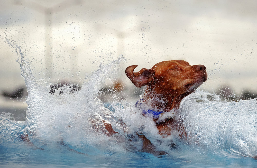 Amanda Sedivy's dog Easton splashes down during the first round of DockDogs competition at the Scheels Hunting Expo Friday, Aug. 24, 2018. The competition continues through Sunday afternoon with multiple rounds of jumping each day. [Ted Schurter/The State Journal-Register]