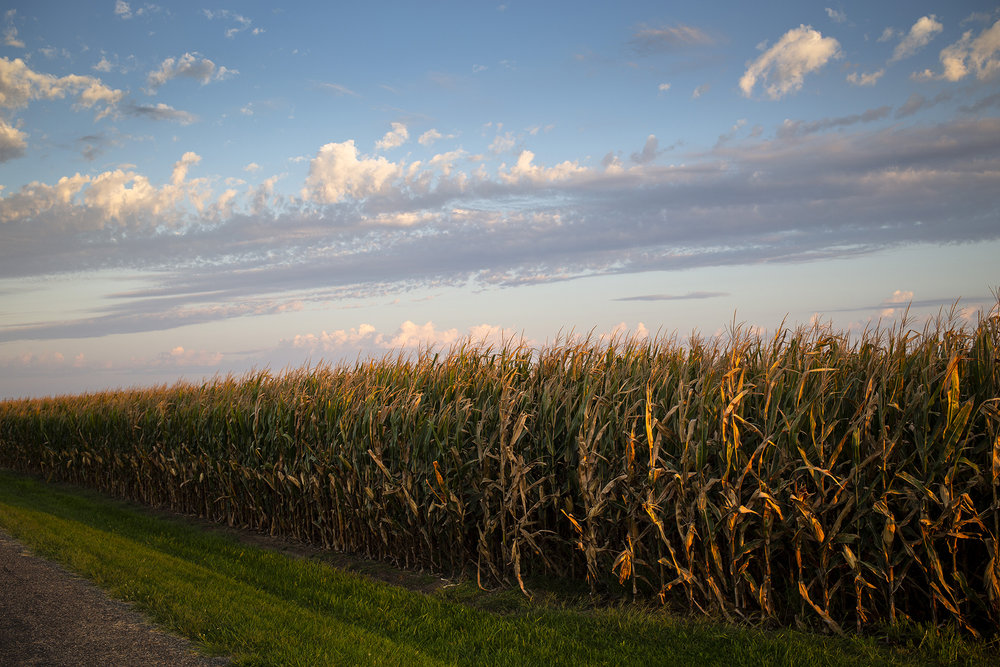A field of corn along Ostermeier Road near Chatham Tuesday morning, Aug. 28, 2018, is beginning to dry, a sure sign that harvest is just around the corner. [Rich Saal/The State Journal-Register]