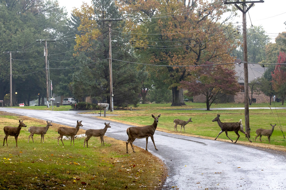 A group of Whitetail deer explore the neighborhood along Beach View Lane near Lake Springfield Friday, Oct. 26, 2018 in Springfield, Ill. [Rich Saal/The State Journal-Register]