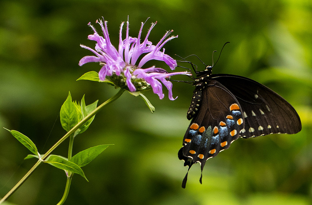 A Black Swallowtail butterfly alights on a purple bee balm bloom at Lincoln Memorial Gardens Monday, July 30, 2018. Butterflies drink the nectar from the perennial plant. [Ted Schurter/The State Journal-Register]