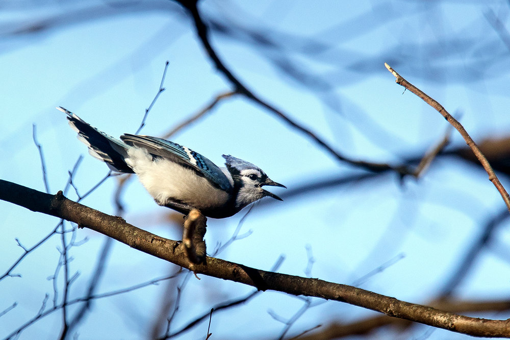 A Blue Jay calls out while perched on a branch near Lake Springfield Thursday, Jan. 3, 2019. The birds make a variety of different calls while roosting in a tree but are generally silent in flight. [Ted Schurter/The State Journal-Register]