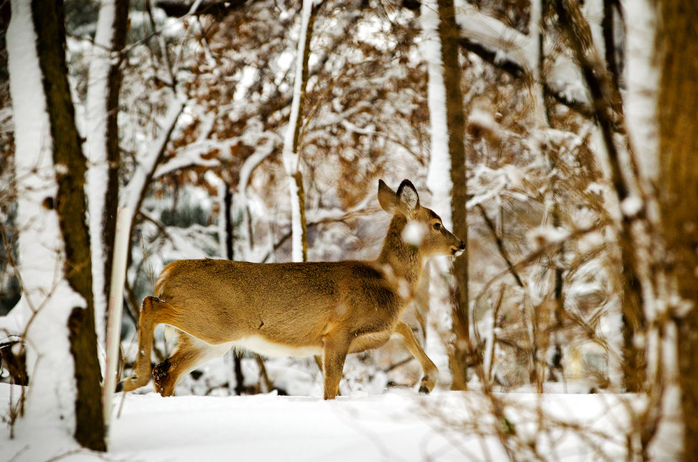 A white-tailed deer blends into the snowy surroundings as he runs through the woods at Lake Springfield Saturday, Jan. 12, 2019. [Ted Schurter/The State Journal-Register]