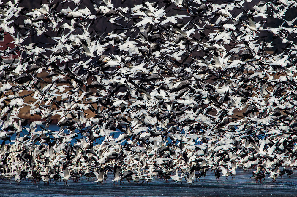 A flock of snow geese, in a variety of white and blue phases, tale flight in unison from a section of ice as they make a stop on Lake Springfield just north of Center Park during their northward migration, Friday, Feb. 22, 2019, in Springfield, Ill. Thousands of snow geese have descended from their high altitude migration to take a pit stop on Lake Springfield during their northern migration. There are currently two flocks on different parts of the lake, one is easily observed from Center Park northeast of Vachel Lindsay Bridge and the second can be seen from the shoreline of Lincoln Memorial Garden. [Justin L. Fowler/The State Journal-Register]