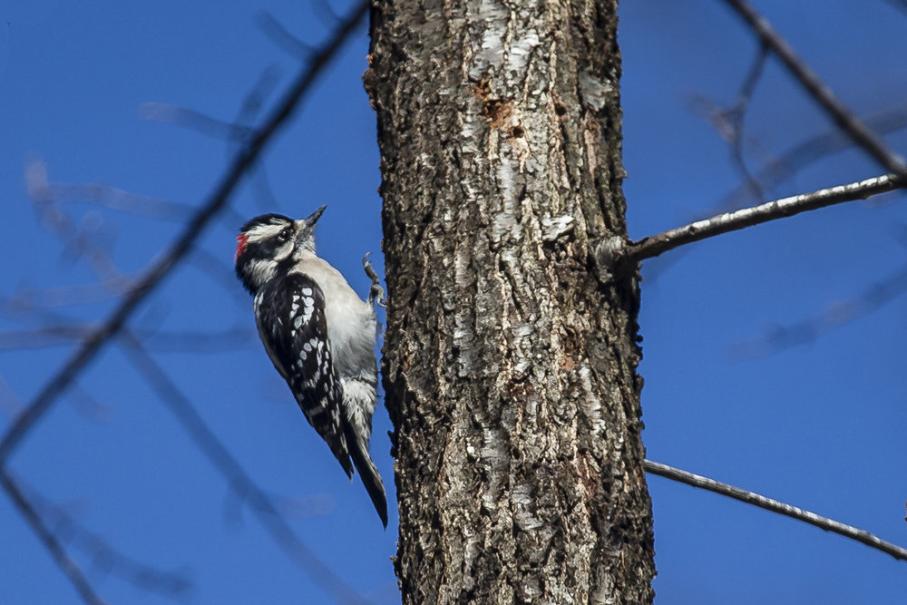 A downy woodpecker climbs up a tree at Lincoln Memorial Garden, Sunday, March 31, 2019, in Springfield, Ill. [Justin L. Fowler/The State Journal-Register]