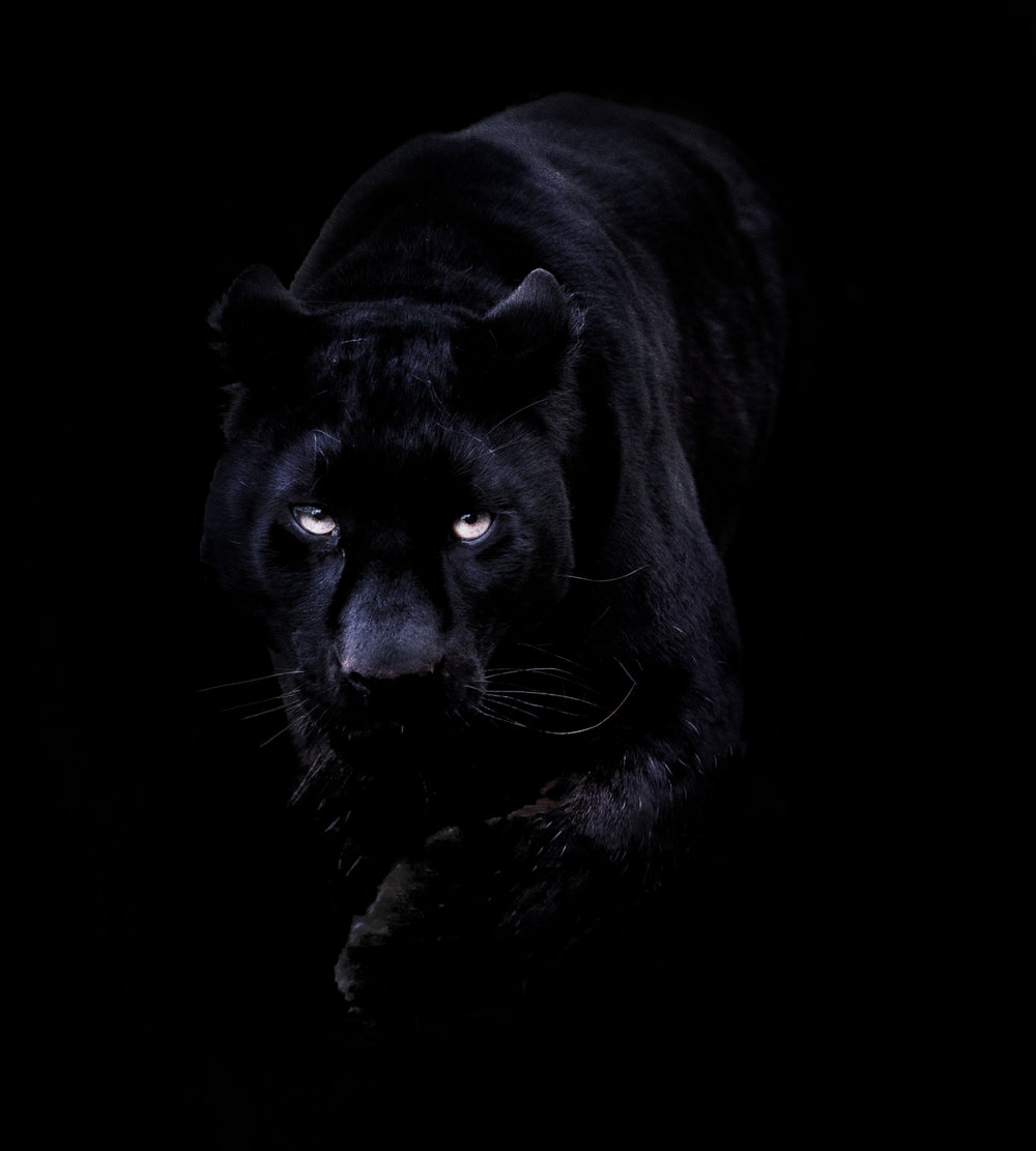 http://animal-jam-clans-1.wikia.com/wiki/File:Black-Panther.jpg