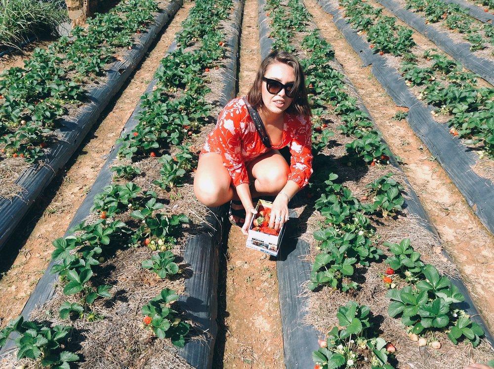 Picking Strawberries in Da Lat