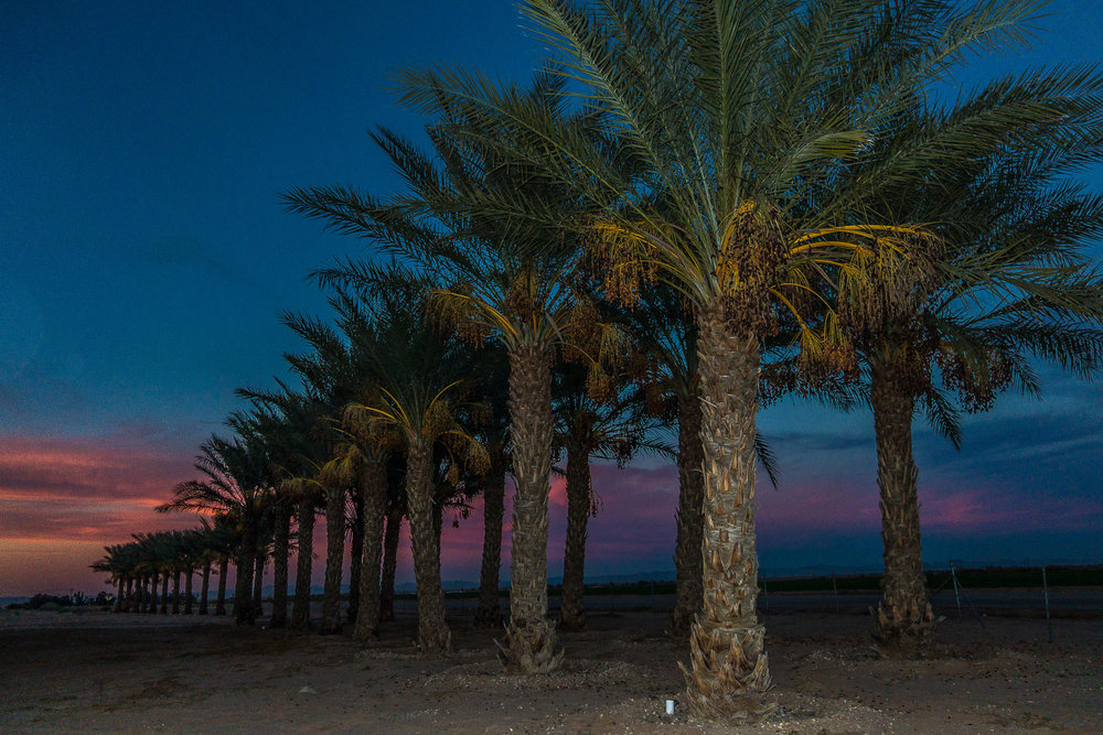 Date Palms at Magic Hour.  Anza, California, 2014, Digital Image. Signed Limited Edition of 20    ORDER OR INQUIRE
