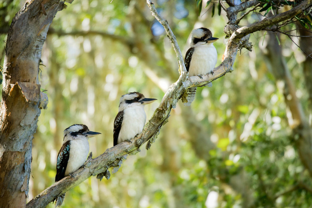 Kookaburra in the Old Gum Tree, Times Three  2007, Digital Image. Signed Limited Edition of 20    ORDER OR INQUIRE