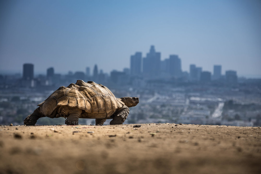 Untitled Desert Tortoise  Los Angeles, 2015, High-res DIgital Capture Signed Limited Edition of 20    ORDER OR INQUIRE