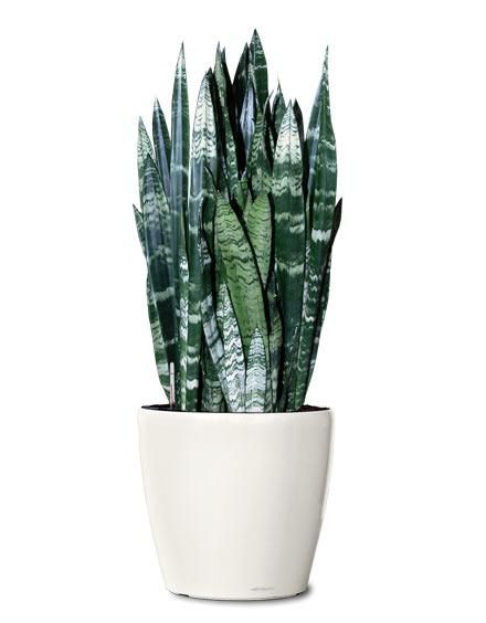 Snake Plant: If you're a plant killer, this ones for you. Snake plants never die. They hardly need sunlight and only a little bit of water every week or so.  Easy as pie!