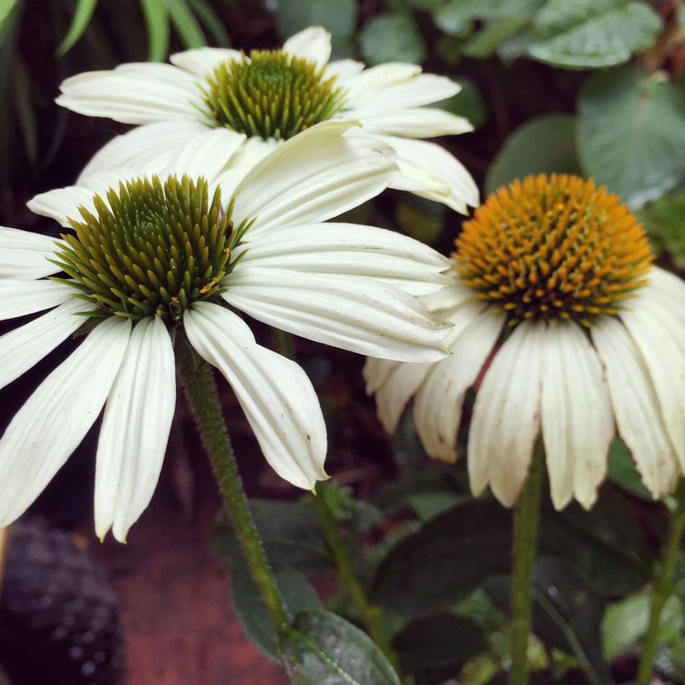 Day 3: Coneflower (Echinacea).