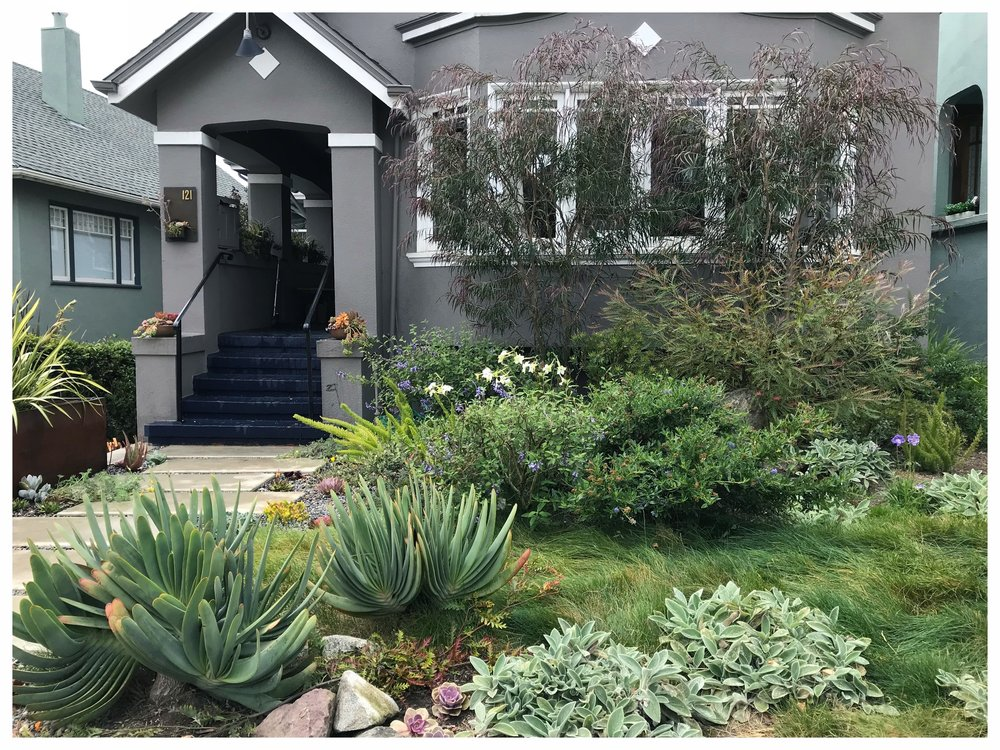 Drought tolerant, native succulent lawn in the West Portal neighborhood by Collecting Flowers | San Francisco Bay Area Custom Garden Design