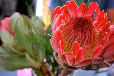 A protea flower at the Neighbourgoods Market.