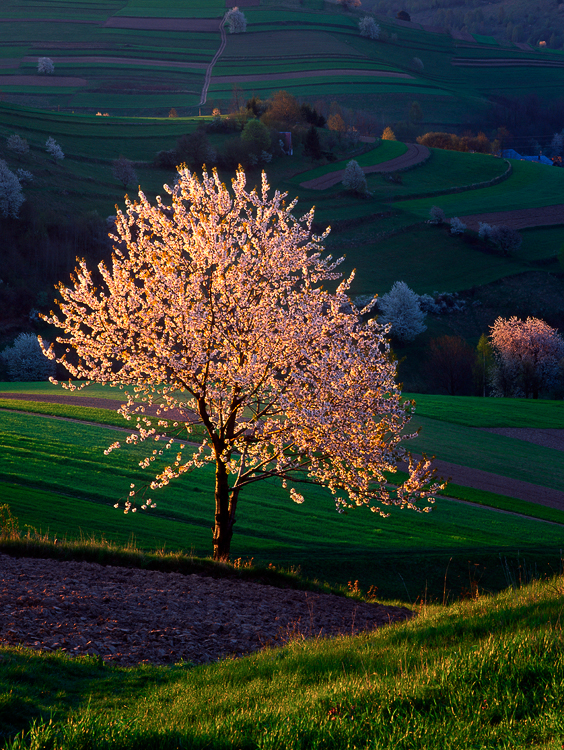 Cherry Tree Poetry I, Hrinova, Slovakia