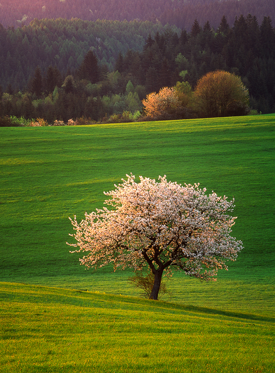 Cherry Tree Poetry II, Povraznik, Slovakia