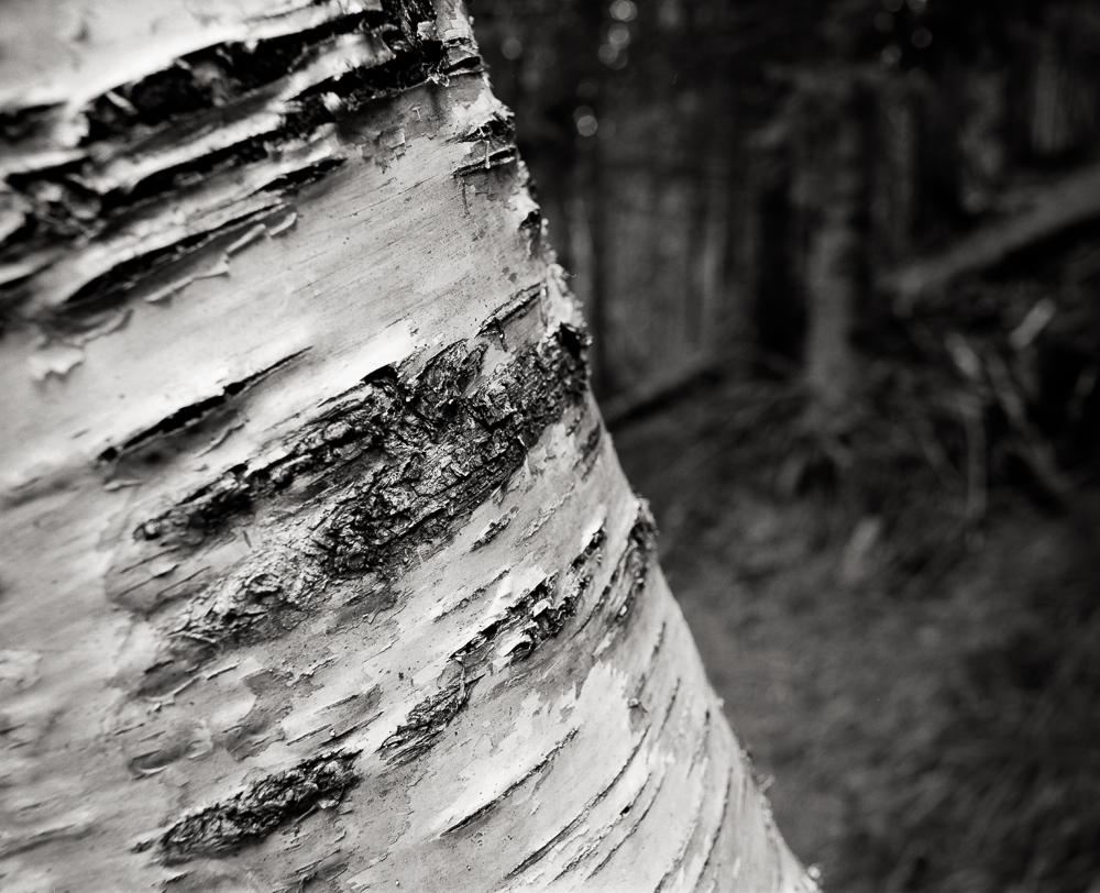 "Title: Birch Detail, Camera: Mamiya RB 67 Pro SD, Lens: Sekor 50 mm, Film: Kodak T-Max 100, Exposure: 1"", f 16, Chamonix, France, 2016"