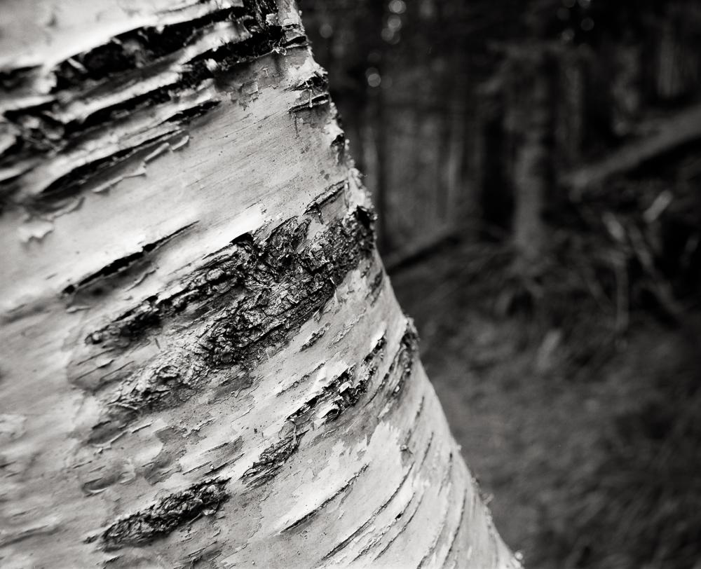 "Title: Birch Detail, Camera: Mamiya RB 67 Pro SD, Lens: Sekor 50 mm, Film: Kodak T-Max 100, Exposure: 1"", f 16, Chamonix, France, 2016"
