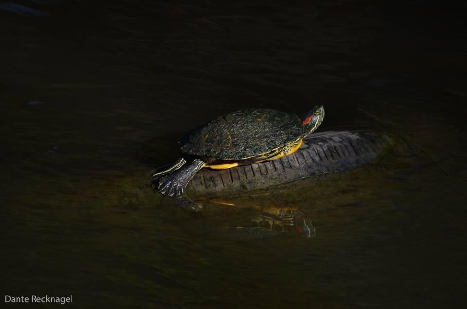 photo of turtle by Dante Recknagel