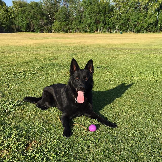 Donner #GSD 19 months old, enjoying a little R&R after some fun #obedience work. #germanshepherd #workingdogs