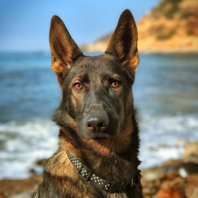 FTI K9 #Brooklyn enjoying Sunday at the beach in sunny CA.  #workingline #germanshepherdpuppy #gsd #cabeach #sablegermanshepherd