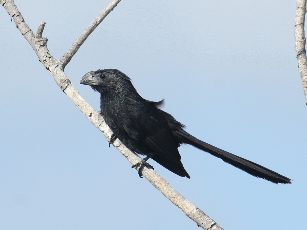 Groove-billed Ani -  Mary King