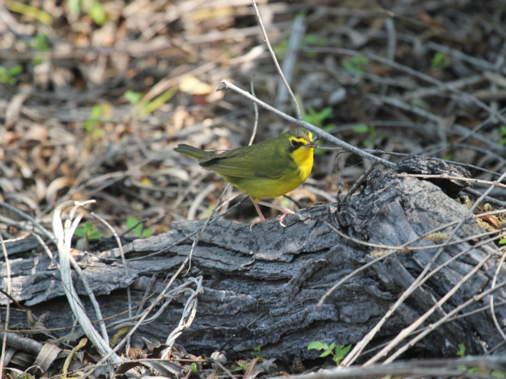 Kentucky Warbler - Mary King