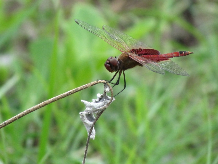 Red Saddlebag Dragonfly - Shane Reader
