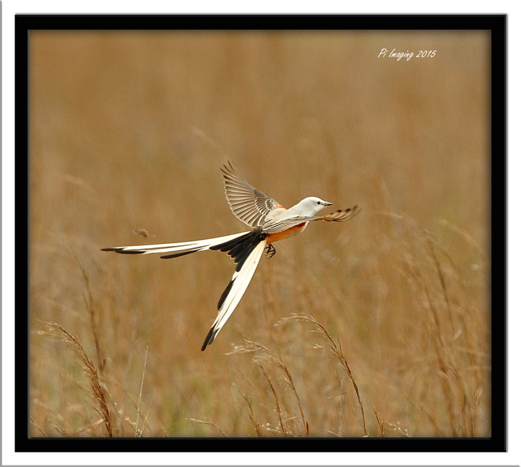 Scissor-Tailed Flycatcher - Tom Tran