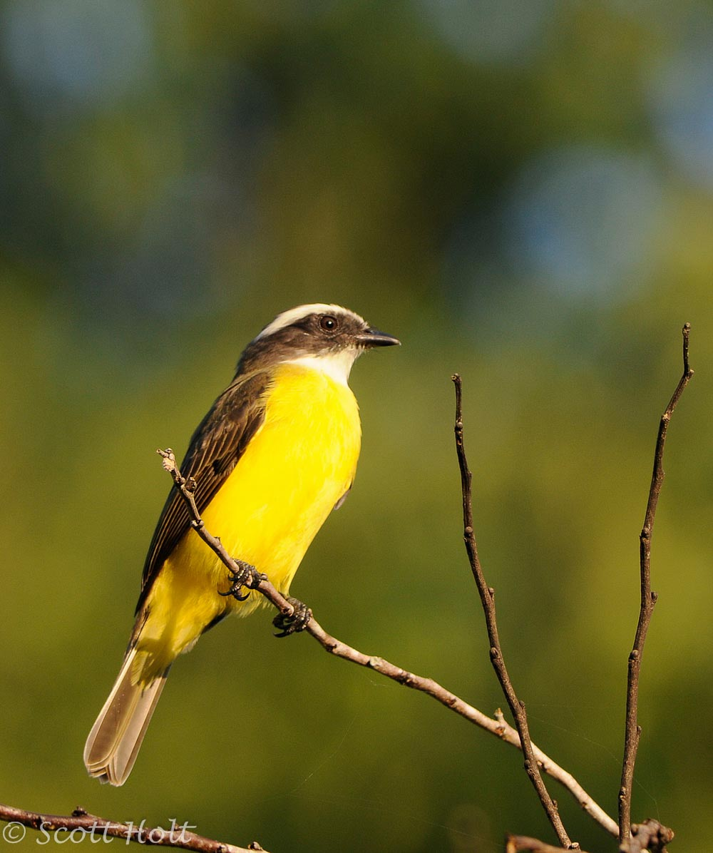 Social Flycatcher by Scott Holt