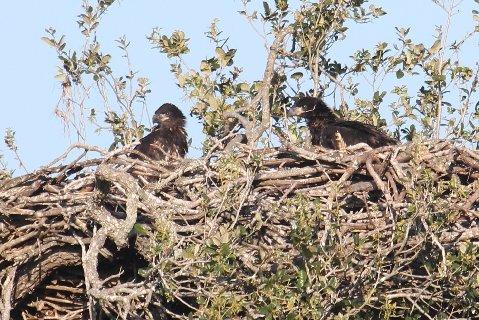baby eagles.jpg