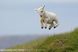 lamb jumping.jpeg