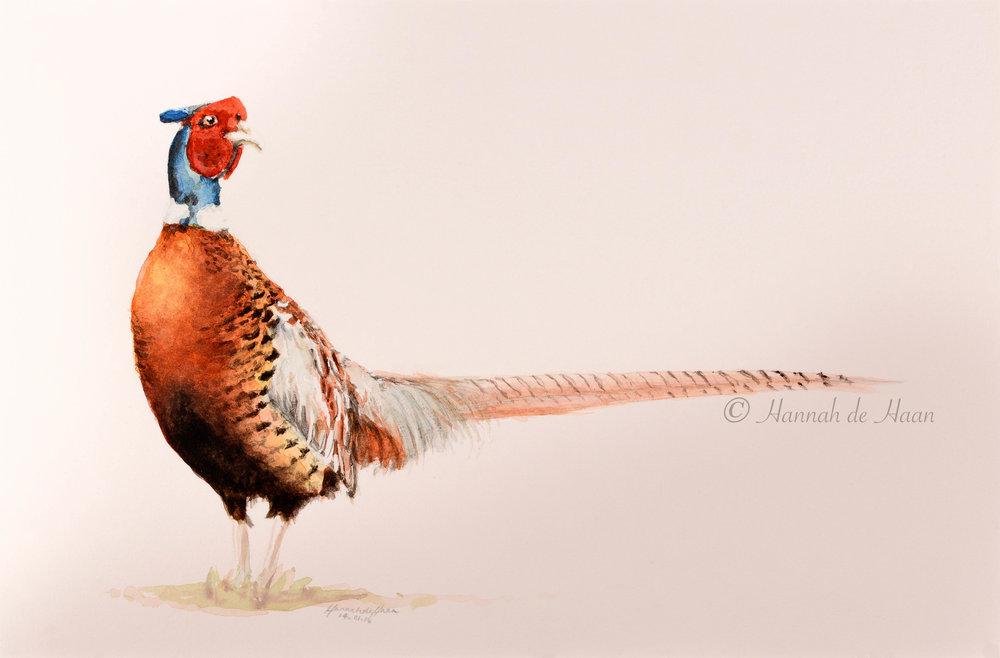 Cock pheasant.jpg