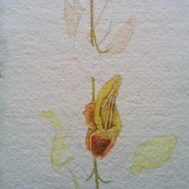 Another piece! A little more sexual this time #orchid #art #artinprogress #watercolor #slug #botanical #flower