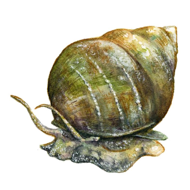 Mystery Snail upclose