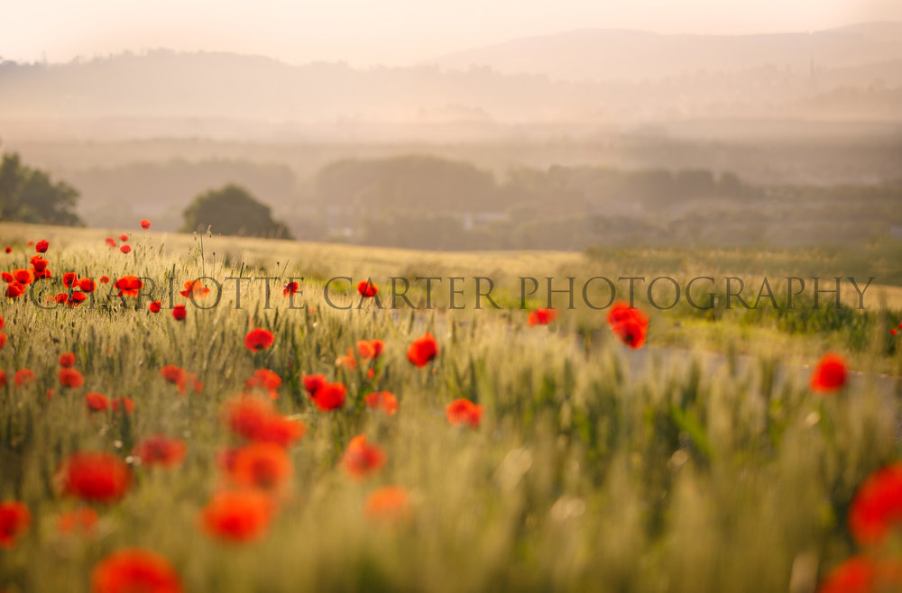 Poppy Fields in France