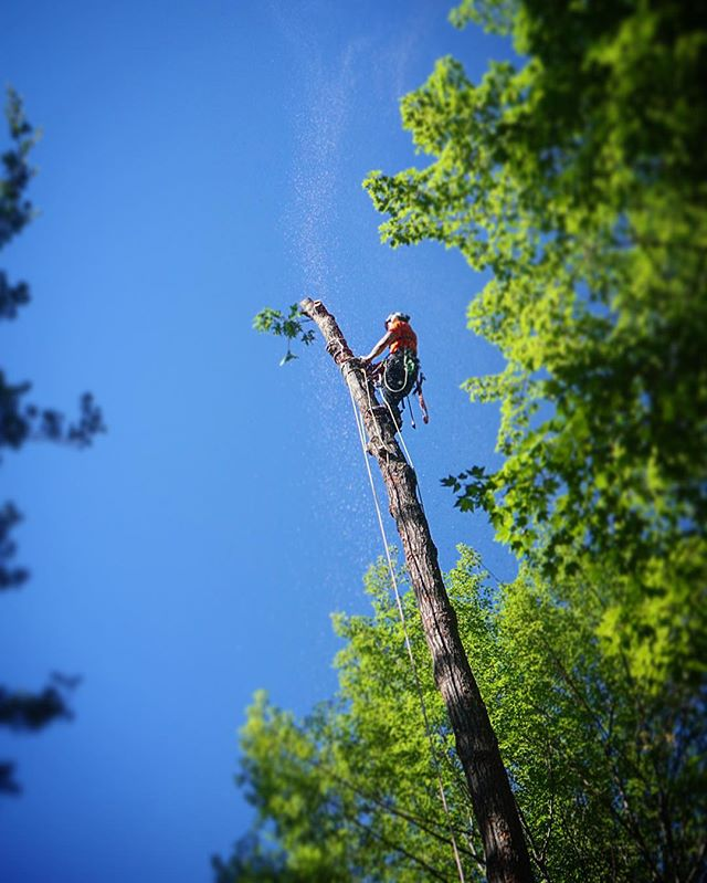 Sending #sawdust up to the #bluesky this weekend!  #arborist #climb #treework