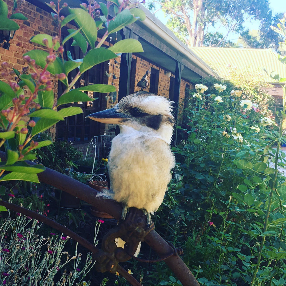 """Mum and Dad's """"pet"""" kookaburra. He's a delight."""