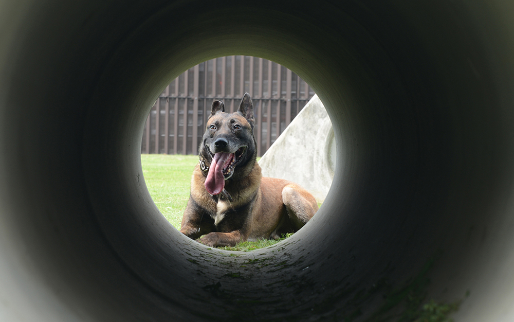 Topa, 374th Security Forces Squadron military working dog, prepares to run through an obstacle course at Yokota Air Base, Japan, July 29, 2015. Dog handlers use the course to train MWDs to overcome challenges they may face in the field. (U.S. Air Force photo by Senior Airman David C. Danford/Released)