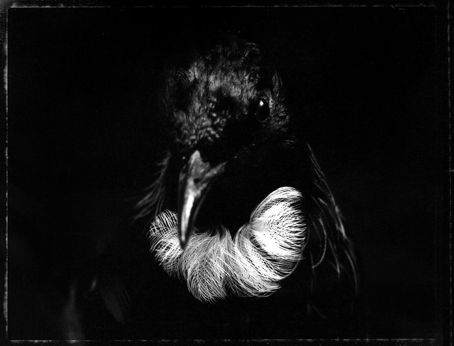 TAONGA HOROMATAIVIRTUE (Tui Prosthamedera n. novaeseelandiae (No.Av. 9783) Canterbury Museum, G. R. Grey 1845) 2004