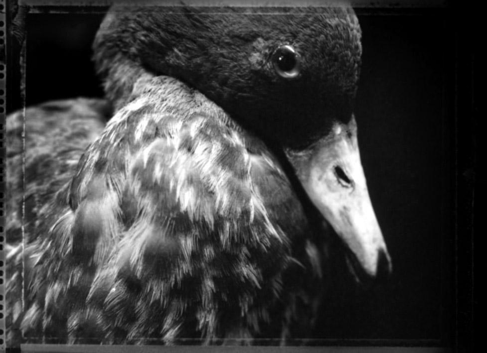 Parera-Kowhio/Blue Duck Hymenolaimus malacorhynchus, Canterbury Museum    2004